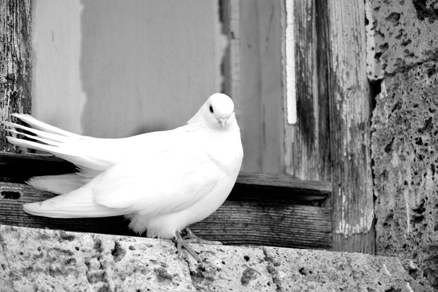 Белый голубь на подоконнике: народные приметы и поверья