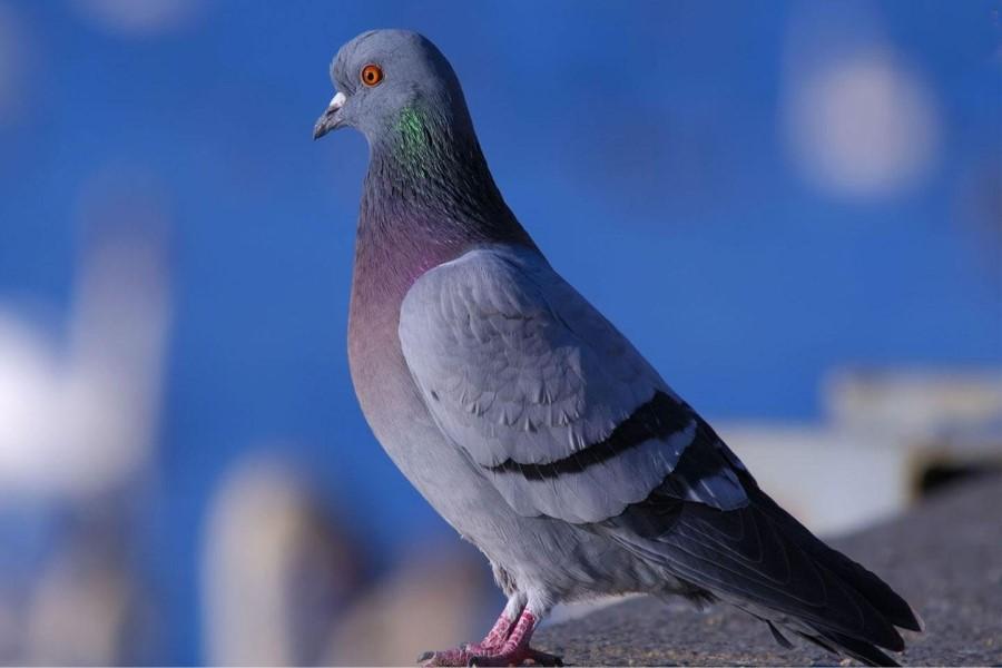 Что значит, если в окно залетел голубь: значение приметы