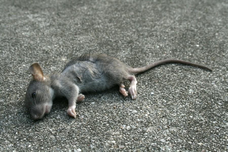 К чему снится дохлая крыса мужчине или женщине?