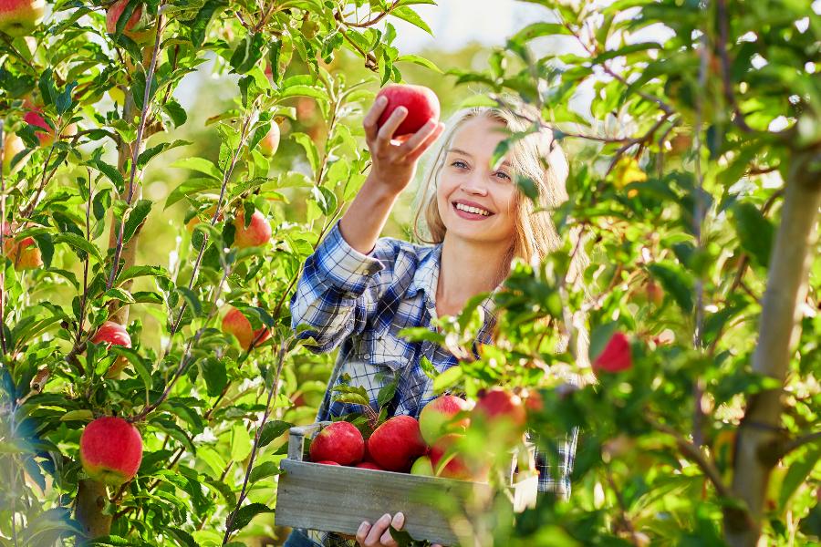 К чему снится собирать яблоки: толкование известными сонниками