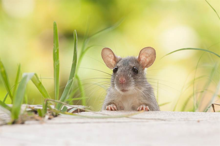 К чему снятся мыши и крысы: толкования образа по сонникам