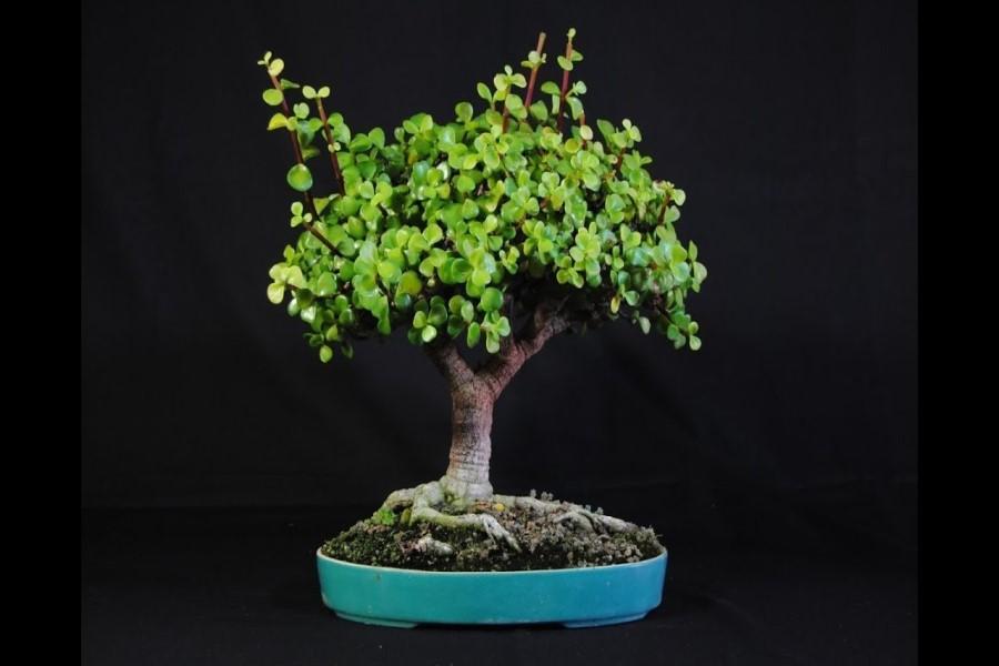 Народные приметы и суеверия о денежном дереве — можно ли дарить, выкидывать, обрезать?
