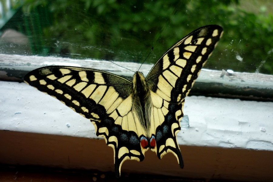 О чем говорит примета, если бабочка залетела в окно?